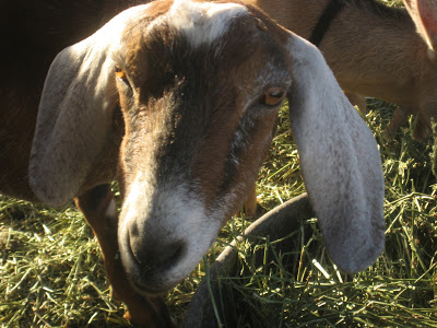 Goat Share – Conclusion