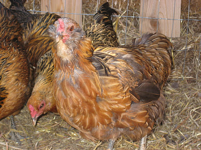 The Chickens are Molting!?! Now What?