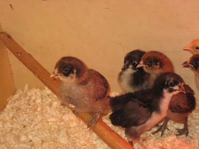Chick Roosting