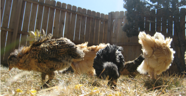Backyard Chickens 101 – Questions to Ask Yourself Before Jumping In!