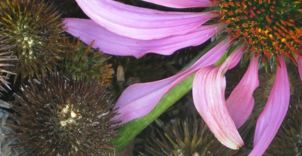 Reflections on Community + Echinacea Seeds to Spare