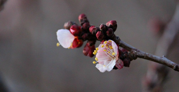 Early Apricot Blossoms