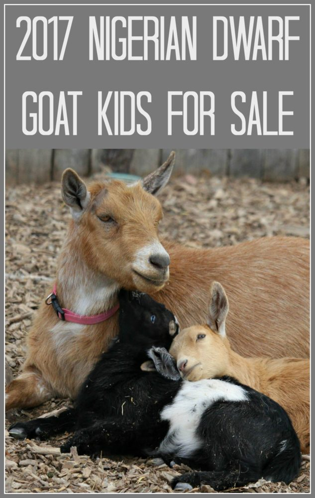 2017-Nigerian-Dwarf-Goat-Kids-for-Sale-Sidebar.jpg