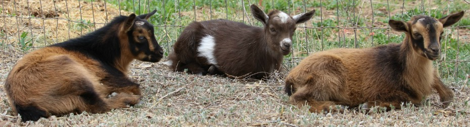 2017 Nigerian Dwarf Goat Kids For Sale